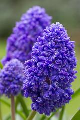 Muscari (Hector16) Tags: england unitedkingdom ngc viduamacroura flowerthequietbeauty