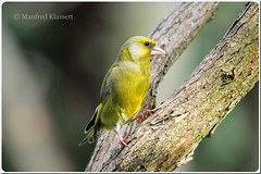 Male European Greenfinch  Grnfink  (M.A.K.photo) Tags: nature birds animals germany garden deutschland wings nikon europa europe hessen outdoor wildlife vgel garten birdwatching carduelischloris birdwatcher naturesfinest europeangreenfinch nbw grnfink bwg naturefinest naturewatcher natureselegantshots nikonflickraward fantasticwildlife distinguishedbirds birdperfect mybestwildlife photospourtousphotosforall