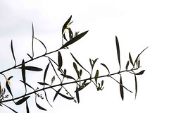 Olive tree leaves (greekadman) Tags: olive minimal greece olivetree