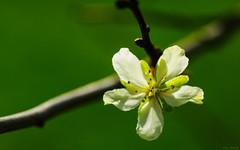 Prunus domestica subsp. domestica (Kitschi_) Tags: macro blossom sony plum tamron 90mm blte prunus a700 zwetschke prunusdomesticasubspdomestica