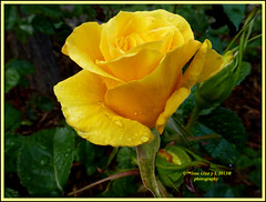 Yelow special rose (Pepe (ADM)) Tags: madrid flores flower nature flor fiori fleure yelowrose mygearandme mygearandmepremium rememberthatmomentlevel1 rememberthatmomentlevel2 yelowspecialrose vigilantphotographersunite vpu2