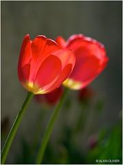 Tulipes du 1er mai
