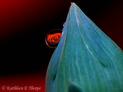 Refraction 041613-02 (Valrico Shooter) Tags: red flower macro water rose flora refraction waterdroplets hpphotosmartc945