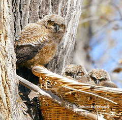 ELLIOT ... the big one! (Aspenbreeze) Tags: bird ninho wildlife owl coruja wildbird coloradowildlife owlsnesting moonandbackphotography rememberthatmomentlevel1 rememberthatmomentlevel2 aspenbree bevzuerlein bighornedowls