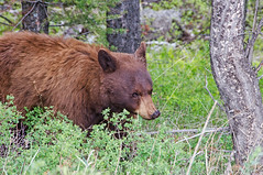 Cinnabear (dbushue) Tags: bear nikon cinnamon wildlife yellowstonenationalpark wyoming blackbear 2012 ynp mammothhotsprings ursusamericanus coth upperterrace supershot specanimal dailynaturetnc13 photoofthedaynwf13