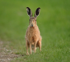 Brown hare  waiting with setting sun reflected in its eye Lepus europaeus (mikejrae) Tags: brownhare waitingwithsettingsunreflectedinitseyelepuseuropaeus