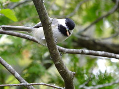 Black-capped Chickadee (RonG58) Tags: pictures new trip travel light usa color bird film nature birds fauna forest geotagged photography us photo spring woods flora raw day image photos live wildlife wayne birding maine picture images photograph chickadee digitalcamera migration tori exploration habitat mori blackcappedchickadee photooftheday picoftheday waynemaine poecileatricapillus birdwalk passerines loiseau fugifilm lafort natureexploration elpjaro dervogel rong58 finepixhs50exr