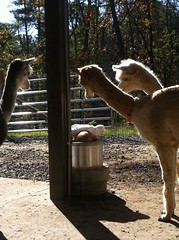 Alpacas (Stacy-for-NelsonMfg) Tags: horses dogs buffalo cows beef dairy drinkers alpacas troughs waterers stallwaterers nelsonwaterers