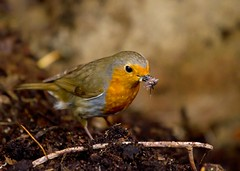 robin1 (Gordon Bishop) Tags: bird robin birds insect spider feeding eating feed