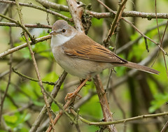 _MG_0132 Common Whitethroat (Sylvia communis), Brandon Marsh, Warwickshire 29 April 2013 (Lathers) Tags: warwickshire commonwhitethroat sylviacommunis brandonmarsh canoneos1dmarkiv warwickshirewildlife canonef500f4lisusm wkwt 29april2013