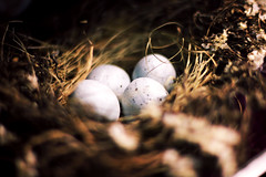 delicate (Casey David) Tags: life bird robin birds four nest birth egg straw robins spots eggs delicate birdnest begin bir nesting beginnings nests caseydavidphotography