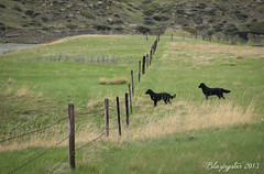 The Grass is Always Greener.... (Blazingstar) Tags: dog green fence spring puffin prairie cava