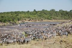 Zebra life @Great Migration (www.kenyanonsolosafari.com) Tags: kenya safari zebra migration gnu wildebeest masaimara savana greatmigration mara masai migrazione gnu