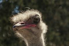 Granja Aventura y Alquzar (9) (Fernando Soguero) Tags: avestruz ostrych avestruzloca crazyostrych granjaaventura barbastro somontano huesca animales animals