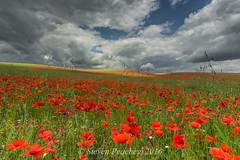 More Poppies (Steven Peachey) Tags: poppies landscape sky clouds canon6d stevenpeachey canon countydurham