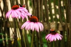 *** (pszcz9) Tags: polska poland przyroda nature kwiat flower motyl butterfly zblienie closeup pot fence beautifulearth sony a77 ogrdbotaniczny botanicgarden