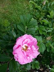 Jens Munk rose. (HAKANU) Tags: sweden smland garden summerhouse cabin cottage rose flower rosegarden jensmunk munk jens pink bush shrub