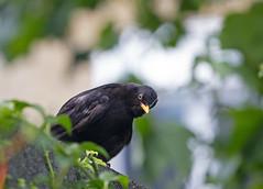 Curious (ArtGordon1) Tags: bird blackbird turdusmerula feathers nature wildlife walthamstow london england uk summer 2016 august davegordon davidgordon daveartgordon davidagordon daveagordon artgordon1