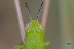 Grasshopper #2 (Simone_Callegari) Tags: details dettagli detail gree verde 105 105mm d7000 nikon animali animale insetti insetto insects animals insect animal nature micro super macro cavalletta