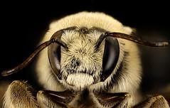 Diadasia rinconis, m, face, Pima Co., Tucson, AZ_2016-07-19-19.38.50 ZS PMax UDR (Sam Droege) Tags: zerenestacker stackshot geologicalsurvey unitedstatesgeologicalsurvey departmentoftheinterior droege biml beeinventoryandmonitoringlaboratory bug bugs canon closeup macro insect patuxentwildliferesearchcenter pwrc usgs dofstacking stacking canonmpe65 taxonomy:binomial=diadasiarinconis bee bees apoidea hymenoptera pollinator nativebee desert cacti cactusspecialist colony donharvey joaquinmogollon diadasia apidae arizona