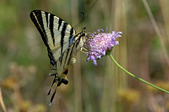 Iphiclides podalirius - the Scarce Swallowtail (BugsAlive) Tags: france macro nature animal butterfly insect outdoor wildlife butterflies insects lepidoptera ardeche prunus herbaceous papilionidae scarceswallowtail iphiclidespodalirius papilioninae liveinsects