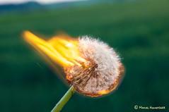 burning blowball (FleshTriad) Tags: burning burn fire feuer feuerball fireball brennen pusteblume lwenzahn dandelion blowball