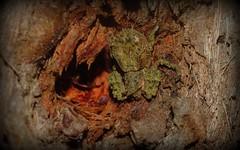 Stephanopis corticalis+/- (dustaway) Tags: arthropoda arachnida araneomorphae araneae thomisidae stephanopinae stephanopis crabspider australianspiders tullerapark tullera northernrivers nsw australia nature