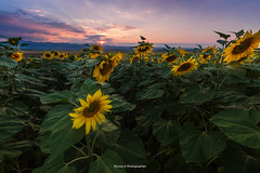 Sunny flower (Nico photographies) Tags: 1018 sunset landscape field francelandscapes france sunflower sky clouds auvergne puydedme picture nuages ciel couchdesoleil fleur tournesol champs canon 600d lens