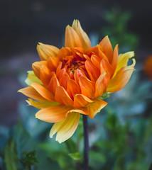Fire flower (WillemijnB) Tags: dahlia flower bloem fleur blume orange oranje geel gelb jaune yellow rood red rouge natuur nature outdoor portrait summer zomer t july juli juillet eos70d 50mm