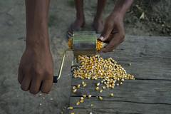Using a hand driven maize sheller in Bageshori, Banke. (CIMMYT) Tags: nepal csisa cimmyt maize agriculture smallholder farmer mechanization asia