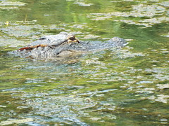 5 River Delta Alabama (189) (Stonehenge 68) Tags: 5riversdelta mobile delta wildlife alligator duck pelican water waterhyacinth hemlock snowyegret alabama