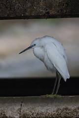 Little Egret (cooky1959) Tags: littleegret egrets farmoorres reservoirs oxfordshire