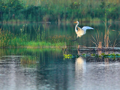 Egret landing HDR 02-20160821 (Kenneth Cole Schneider) Tags: florida westbrowardwca miramar