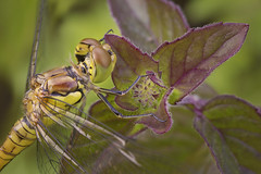 Dragonfly (Michel Couprie) Tags: macro dragonfly libellule nature animal focusstacking processing postprocessing canon eos insect fauna flora flower fleur canonmpe65mmf28macro