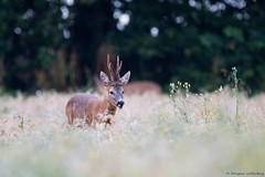 Brocard (Morgane_W) Tags: chevreuil brocard roedeer buck capreoluscapreolus mammifre animal sauvage wildlife rut nature canon80d tamron150600