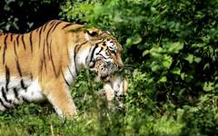 Ab in die Deckung! (Sckchen) Tags: tiger tigerbaby zoo