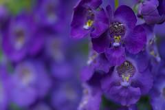 Delphinium (rvtn) Tags: purple flowers flower summer macro delphinium bokeh