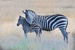 Mom and Baby Zebra (Kitty Kono) Tags: zebra momandbaby love kittyrileykono masaimara kenya safari