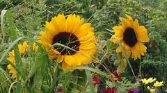 Sonnen auf dem Balkon (statt am Himmel) - Sunflowers on Balkony (Sockenhummel) Tags: sunflower sonnenblume blume sommer summer flower blte gelb blumenstraus explore explored todaysexplore fluidr inexplore