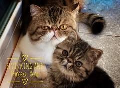 Elvis and Xena (victoria@) Tags: elvis xena exoticshorthair exotico cat gatos mascotas persas