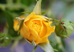 Yellow Rose (Rory Llowarch) Tags: rose roses yellow yellowrose flower flowers rosebud rosebuds summer summertime gardens garden plants rosepetals england rosegarden rosegardens hampshire hampshireengland fareham farehamhampshire bud buds beauty beautiful pretty outdoor outside