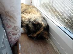 Sunbathing (1) (karenblakeman) Tags: cat 2016 august tortoiseshell jessie windowsill uk