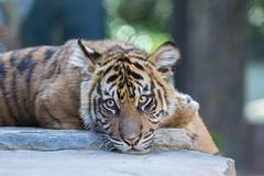 Nelson taking a cat nap (ToddLahman) Tags: sandiegozoosafaripark safaripark canon7dmkii canon canon100400 escondido tigers tiger tigertrail tigercub nelson joanne teddy sumatrantiger babysumatrantiger