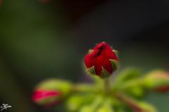 Bud Close Up (briejeshpatel) Tags: brijesh patel briejeshpatel karnataka flowershowaugust152016 macro flowers canon 7dcanon l lens dslrcanon 100mm f28l bangalore lalbagh flower show2016 f28 macrophotography macrography anther