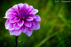 Dahlie / Dahlia (R.O. - Fotografie) Tags: dahlie dahlia blte blossom blume flower outdoor panasonic lumix dmcfz1000 dmc fz1000 fz 1000 closeup close up natur nature
