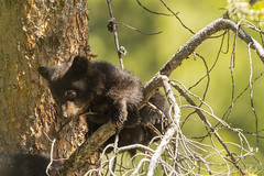 What's going on down there {Explored} (ChicagoBob46) Tags: blackbear bear cub coy cuboftheyear yellowstone yellowstonenationalpark nature wildlife explore explored