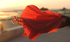Lovely Moment (Khaled M. K. HEGAZY) Tags: nikon coolpix p520 rassedr egypt nature outdoor closeup macro hibiscus stamen pistil plant flower petal bud red yellow brown white sea redsea beach seaside parasol