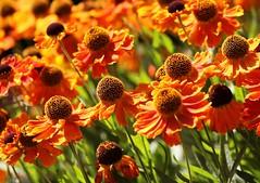 Rubbeckia (robin denton) Tags: flowers flower fleur flore flora breezyknees gardens garden rudbeckia
