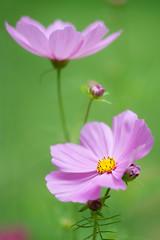 Garden Cosmos (MichellePhotos2) Tags: garden cosmos pink flower flora flor green michigan westmichigan summer nikon d800e nikond800e macro 150mm petal blossom