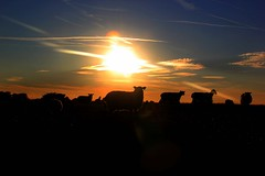 EWE Sun setting. In Explore! - 2016-08-30 (BillyGoat75) Tags: sunset sky sheep chalonerswhin askham northyorkshire canon 60d